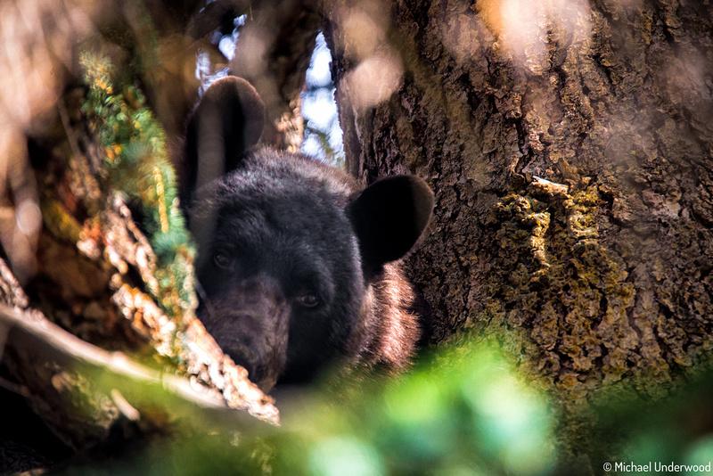 Lake City Black Bear