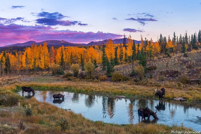 Moose in a Colorado Autumn