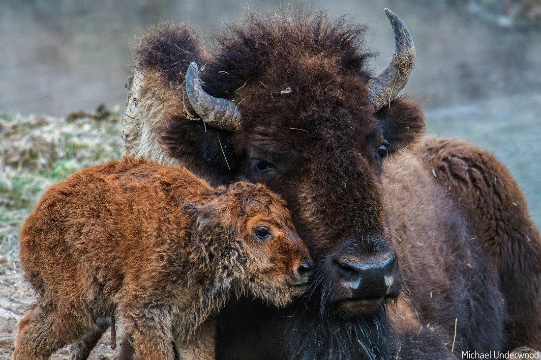 The Baby Bison at Beryl Spring