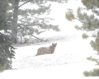 Mountain Lion walking through the snow