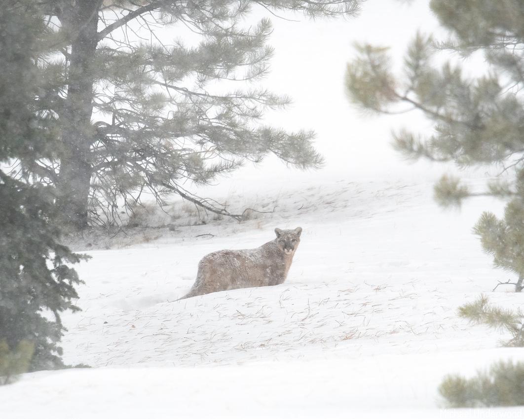 Mountain Lion walking through the snow