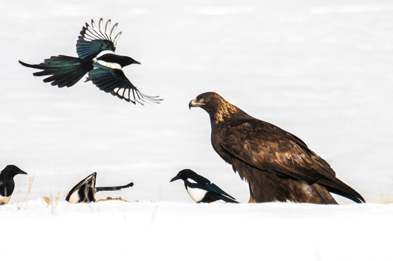 Golden Eagle and a Magpie