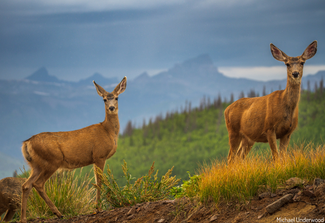 Deer and Uncompahgre