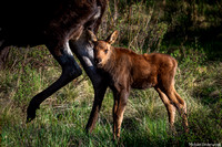 Moose Calf and Mom