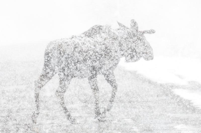 Bull Moose Snow