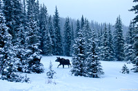 Moose Calf in a Snowstorm