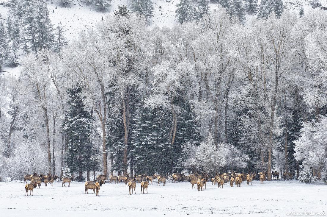 Spring Snow Elk