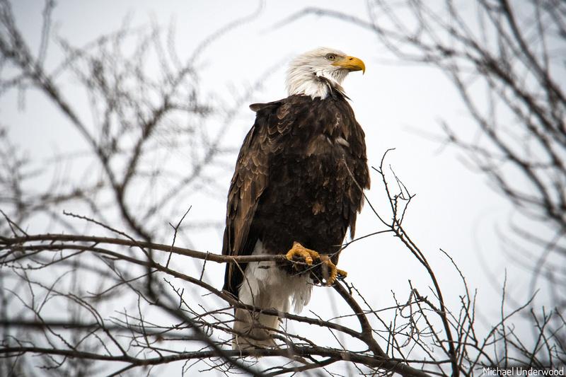 Bald Eagle in Lexington